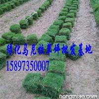 【江西绿化草皮】价格厂