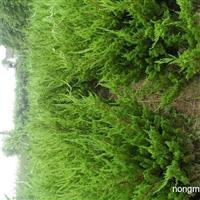 龙柏树100-400厘米