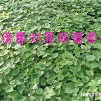 蜜莉葡萄苗,长春出售蜜莉葡萄苗,吉林省蜜莉葡萄苗基地