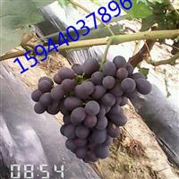 通辽丹东夏黑葡萄苗出售,吉林辽宁沈阳大连蜜汁葡萄苗