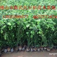基地直供南方红豆杉种子杯苗 0.3~1米高南方红豆杉营养袋苗