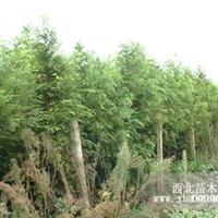 水杉直销 江苏沭阳盛大苗木场供应水杉 货源充足