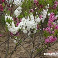 寿星桃直销 江苏沭阳盛大苗木场供应寿星桃 货源充足