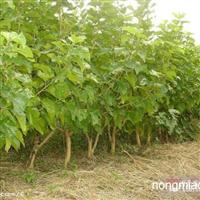 桑树直销 江苏沭阳盛大苗木场供应桑树 货源充足