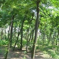 合欢直销  江苏沭阳盛大苗木场供应合欢 货源充足