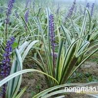 大叶麦冬草直销 江苏沭阳盛大苗木场供应大叶麦冬草 货源充足