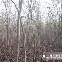 直销 江苏沭阳盛大苗木场供应 货源充足