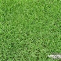 日本结缕草直销 江苏沭阳盛大苗木场供应日本结缕草 货源充足