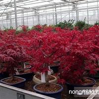 日本红枫直销 江苏沭阳盛大苗木场供应日本红枫 货源充足