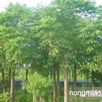 朴树直销 江苏沭阳盛大苗木场供应朴树 货源充足