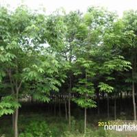 七叶树直销 江苏沭阳盛大苗木场供应七叶树 货源充足