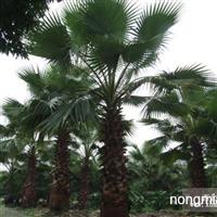 棕榈直销 江苏沭阳盛大苗木场供应棕榈 货源充足