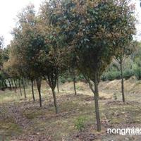 江苏沭阳盛大苗木场供应高杆红叶石楠   货源充足