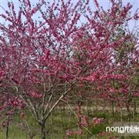 红叶桃直销 江苏沭阳盛大苗木场供应丛红叶桃 货源充足