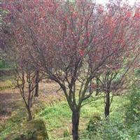 红叶李直销 江苏沭阳盛大苗木场供应红叶李  货源充足