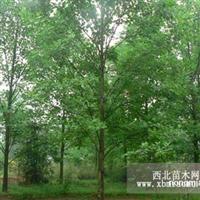 马褂木直销 江苏沭阳盛大苗木场供应马褂木 货源充足