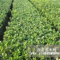 江苏沭阳盛大苗木场供应冬青  货源充足