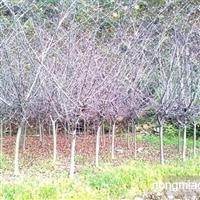 江苏沭阳盛大苗木场供应垂丝海棠 货源充足