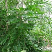 江苏沭阳盛大苗木场供应椿树  货源充足