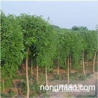 江苏沭阳盛大苗木场供应垂槐  货源充足