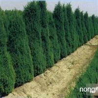 江苏沭阳盛大苗木场供应北京桧柏 货源充足