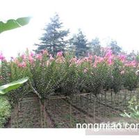 江苏沭阳盛大苗木场供应紫薇  货源充足