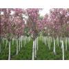樱花直销 江苏沭阳盛大苗木场供应樱花  货源充足