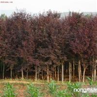 紫叶李直销 江苏沭阳盛大苗木场供应紫叶李  货源充足