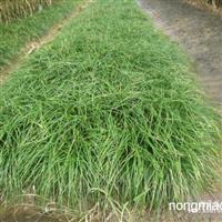 麦冬草直销 江苏沭阳盛大苗木场供应麦冬草  货源充足