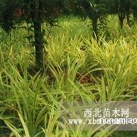 江苏沭阳盛大苗木场供应金边麦冬草  货源充足