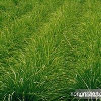 早熟禾直销 江苏沭阳盛大苗木场供应早熟禾 货源充足