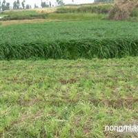 黑麦草直销 江苏沭阳盛大苗木场供应黑麦草 货源充足