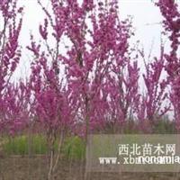 紫荆直销 江苏沭阳盛大苗木场供应紫荆 货源充足