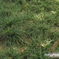 沿街草直销 江苏沭阳盛大苗木场供应沿街草 货源充足