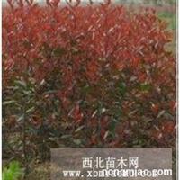 红叶石楠球直销 江苏沭阳盛大苗木场供应红叶石楠球 货源充足