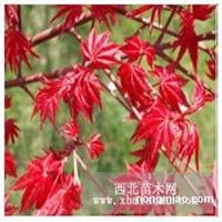 美国红枫直销 江苏沭阳盛大苗木场供应美国红枫 货源充足
