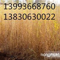 甘肃农户直销梭梭苗|一年生梭梭|梭梭价格