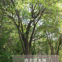 可供多干茶条槭地径5-30公分厂