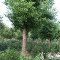 香樟,香樟苗,香樟价格,香樟基地,又名木樟、乌樟、芳樟树