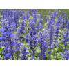 供应彩色地被植物-兰花鼠尾草,大量出售兰花鼠尾草