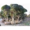 常绿小乔木-桂花树,桂花小苗,苏北桂花树直销基地,又名月桂