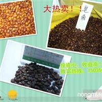 大量供应手选皂角种子、皂角苗