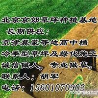 承德销售草坪 承德绿化草坪 承德卖草坪耐寒草坪