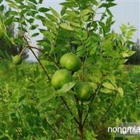 低价供应大量文冠果树苗