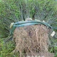 供应广西马甲子/铁篱笆/鸟不站刺