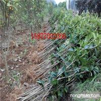 大量供应广西桂林优质桂花小苗