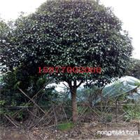 供应广西米经8到20公分桂花树