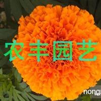 常年供应百日草等花卉种子