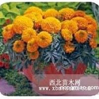 赤峰色素万寿菊种子,万寿菊种子批发