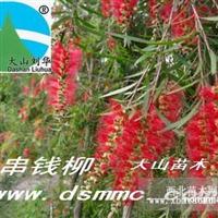 红花垂柳串钱柳